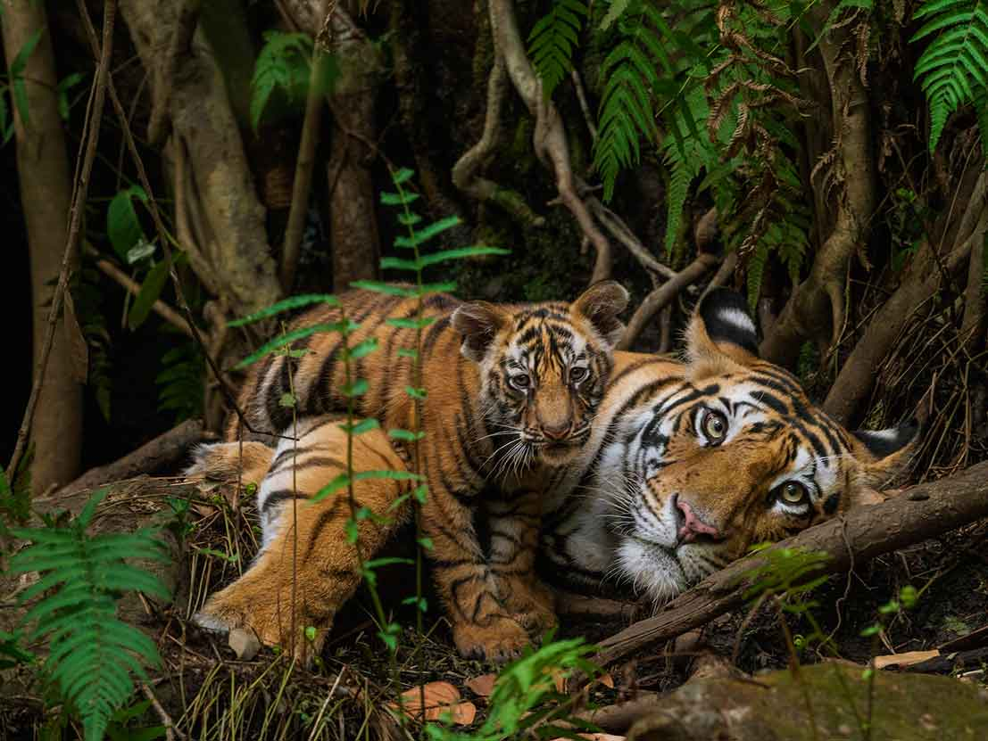 Tigers India Tour