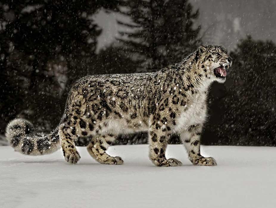 Snow Leopards Himalayas Photography
