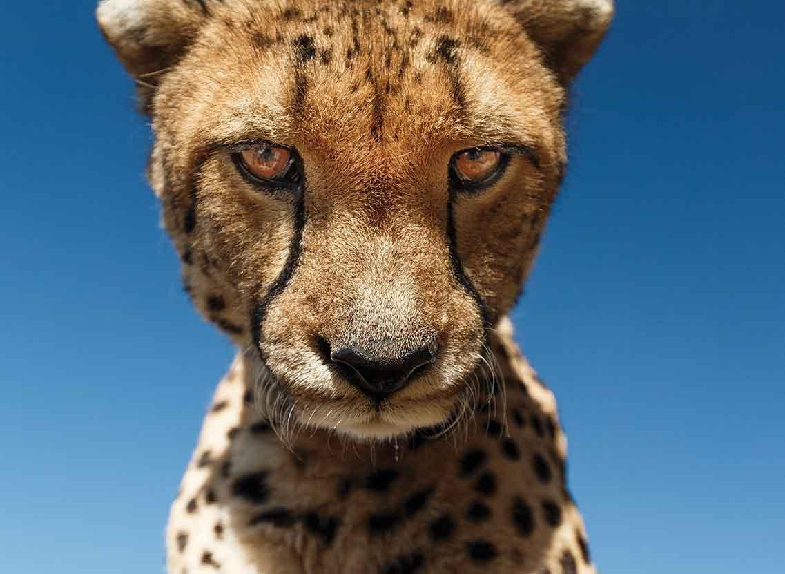 Wild Cats Africa