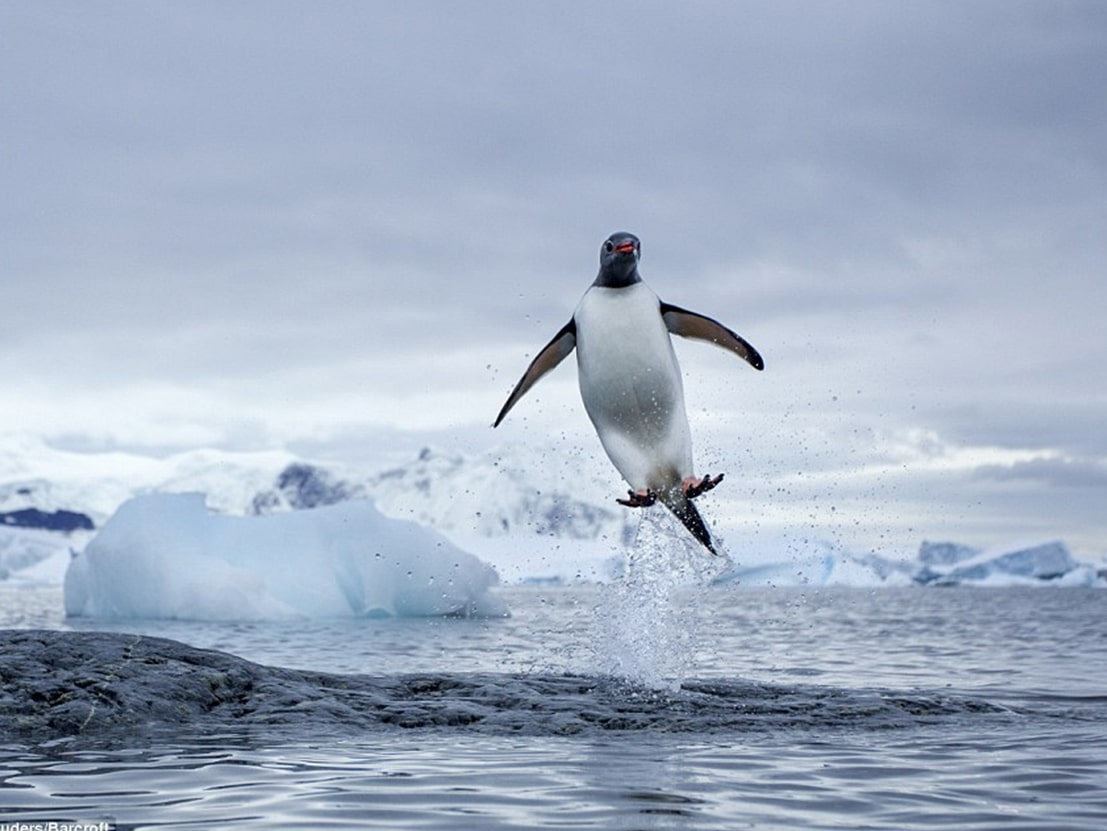 Happy Feet Antarctica